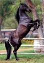 stud horse